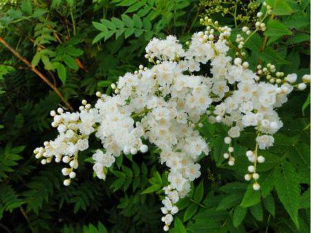 珍珠梅的花