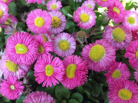 粉色的翠菊