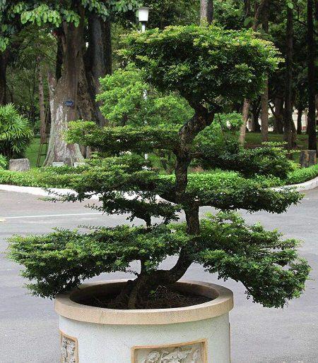 好看的松树盆栽