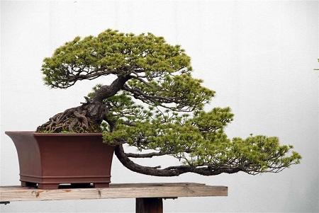 松树盆景怎么制作