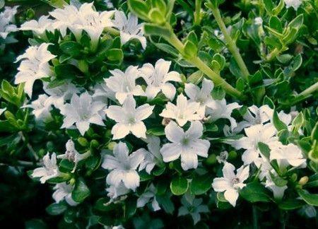 六月雪开花