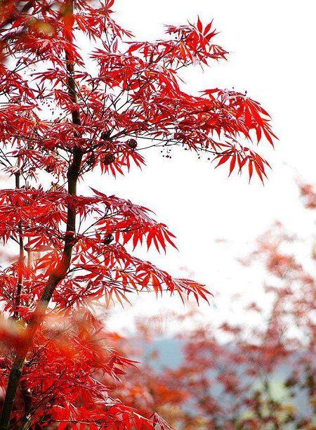 好看的红枫