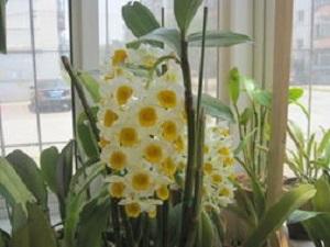 盆栽球花石斛