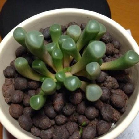 翠绿的五十铃玉
