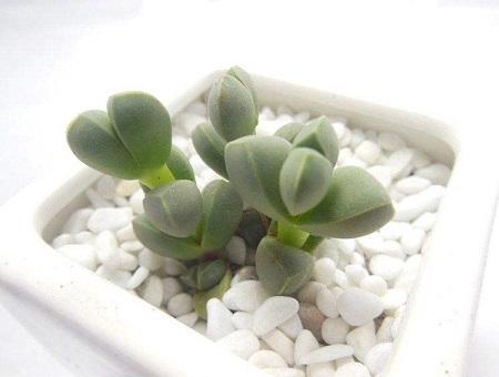 多肉鹿角海棠