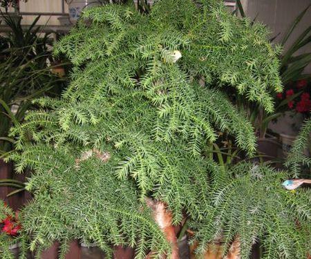 翠绿的澳洲杉