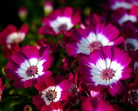 瓜叶菊开花
