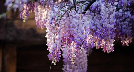 清香木盆景怎么养_紫藤的种类有哪些 - 花百科