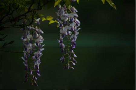 清新的紫藤