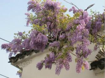 好看的紫藤