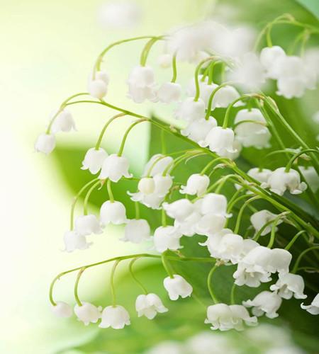 白色风铃草