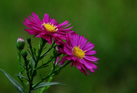 荷兰菊的花朵