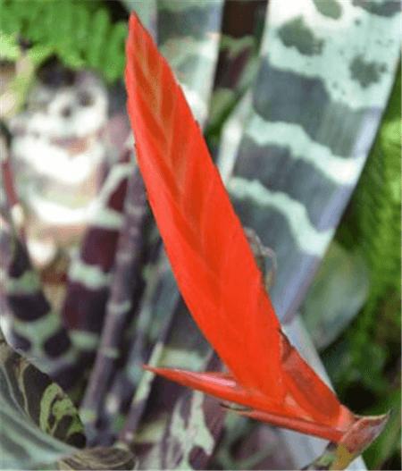 虎纹凤梨的花序