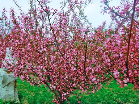 木瓜海棠怎么制作盆景