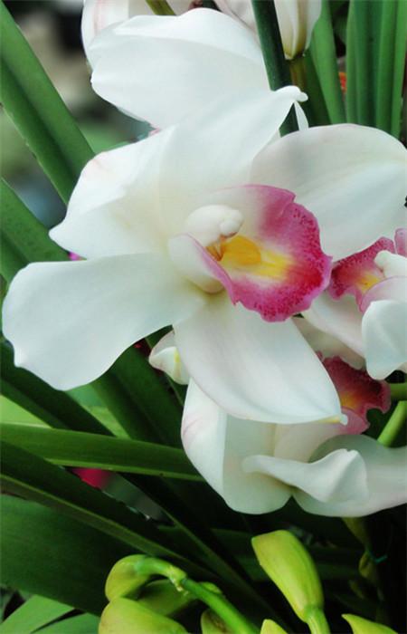 美丽的大花蕙兰