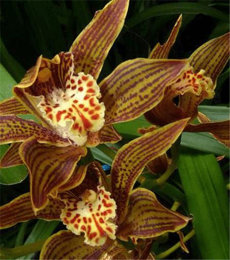 黄蝉兰的花朵