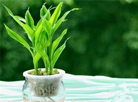 富贵竹的样子_冬季室内干燥养什么花合适? - 花百科