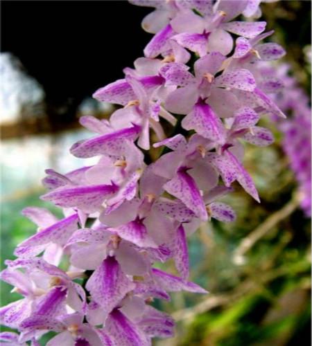 多花指甲兰的花