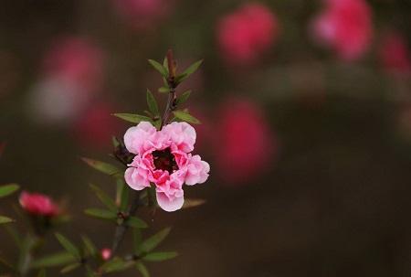 松红梅开花