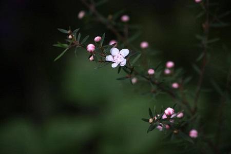 小清新的松红梅