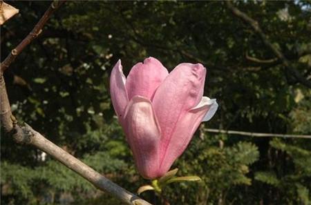 二乔木兰花苞