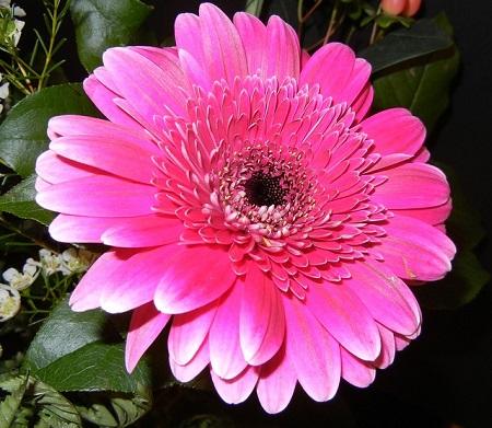 非洲菊的花朵