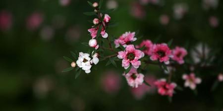 松红梅的花朵