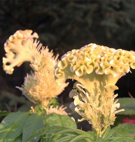 黄色鸡冠花