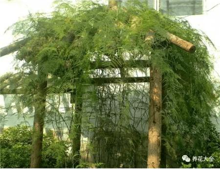 室外种植的文竹