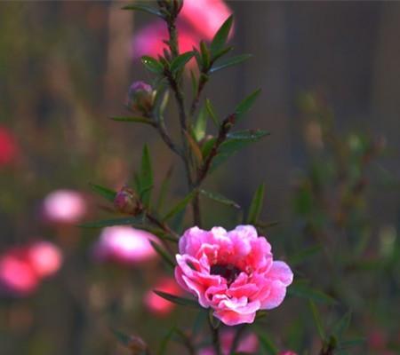 松红梅植株