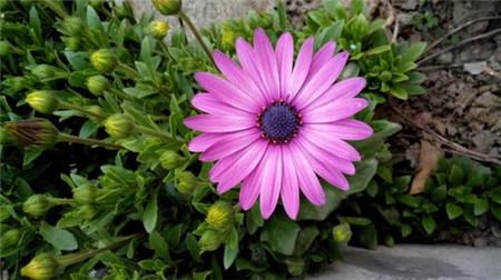 蓝目菊开花