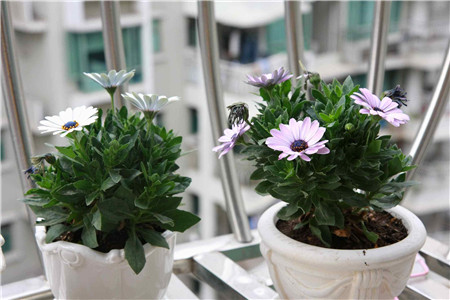 盆栽蓝目菊