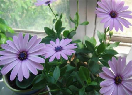蓝目菊盆栽