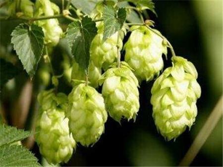 啤酒花植株