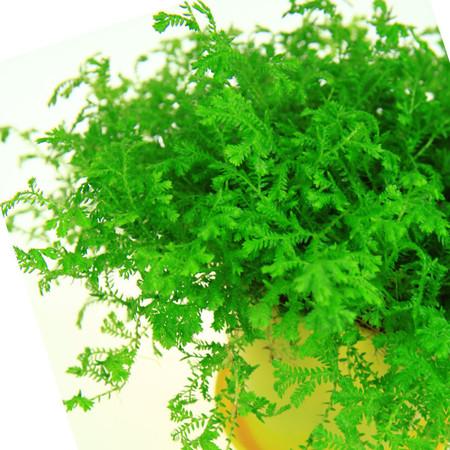 珊瑚蕨的叶子发蔫泛黄怎么办