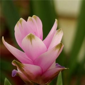 姜荷花的花朵