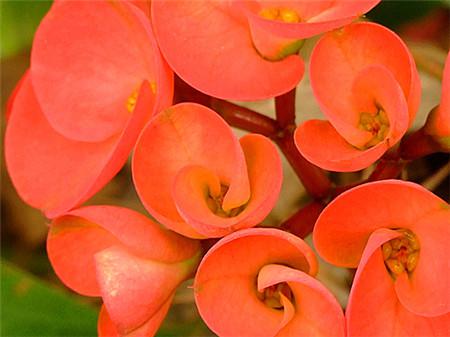 虎刺梅花朵
