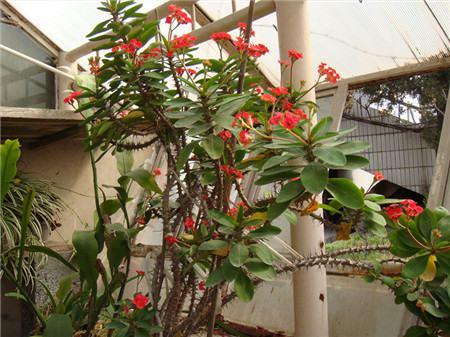 虎刺梅植株