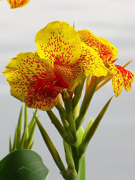 兰花美人蕉的花朵