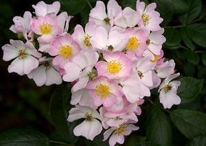 野蔷薇开花
