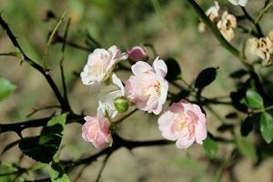 清新的野蔷薇