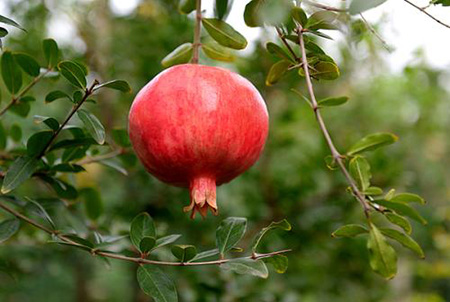 月季石榴盆栽怎么制作