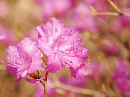 迎红杜鹃花朵