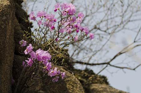 迎红杜鹃植株