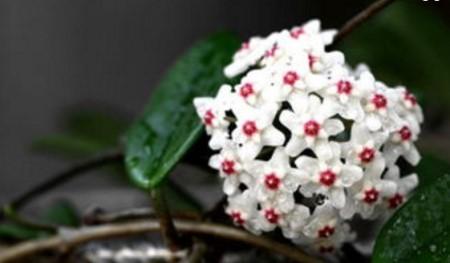 斑叶球兰的花