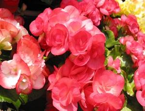 秋海棠的花朵