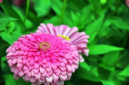 百日菊的花朵