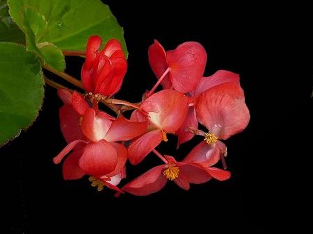 秋海棠植株