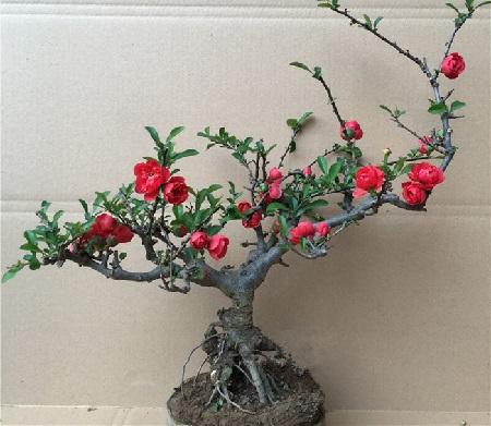长寿海棠盆栽