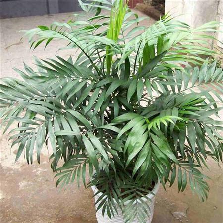 袖珍椰子盆栽
